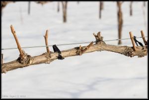 Frontenac fraîchement taillé, fin d'hiver 2015.